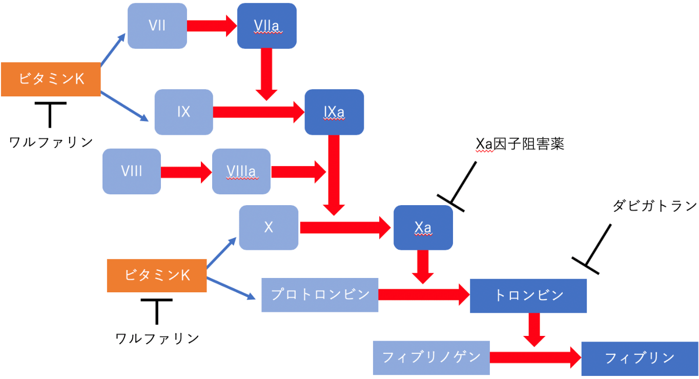 ワルファリンとDOACはどう使い分ける? 図1. 血液凝固カスケードと抗凝固薬の作用点の画像